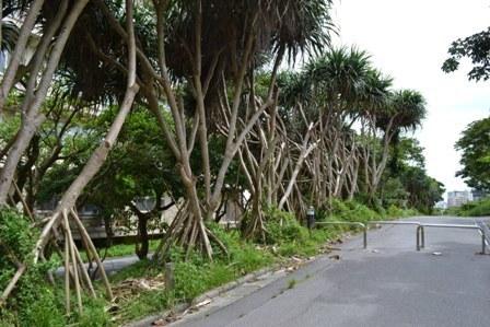 Takonoki_tree001.jpg