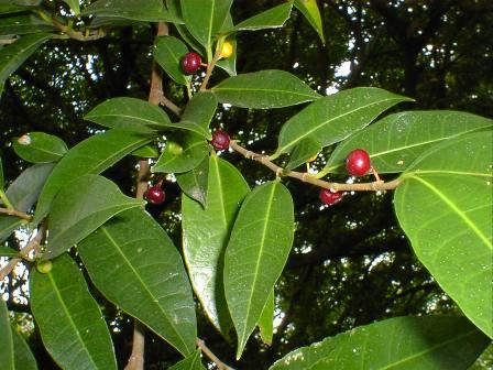 hosobamukuinubiwa_fruits001.jpg