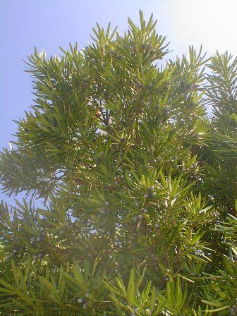 inumaki_tree001.jpg