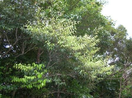 itajii_tree001.jpg