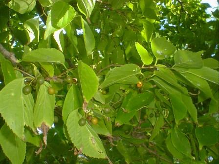 kuwanohaenoki_fruits001.jpg