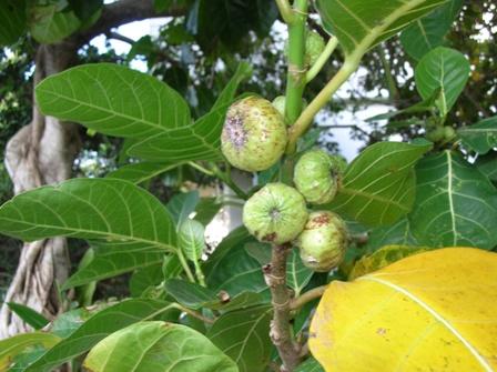 oobainubiwafruits001.jpg
