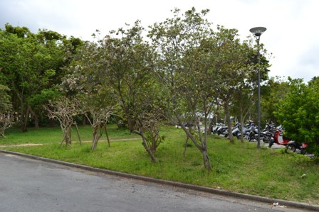 syarinbai_tree001.jpg